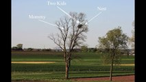 Bald Eagles Nest - Young Eagle Learning to Fly