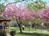 2006 Cherry Blossoms Cherry Hill NJ