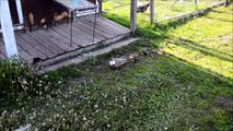 Newly Hatched Ducklings - Prairie Gardens Adventure Farm