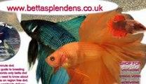 www.bettasplendens.co.uk, bettas for sale betta splendens