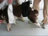 Un chien paralysé remarche : rééducation de Sammi, le chien paralysé