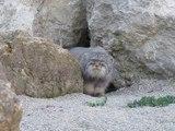 Le Chat de Pallas : chat sauvage magnifique