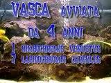 il Malawi-nimbochromis venustus & labidochromis caeruleus