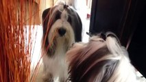 Bearded Collie Dog barking at reflection in mirror