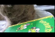 NEW CUTE SCOTTISH FOLD BLOG! Basil Farrow fat kitten スコティッシュフォールド