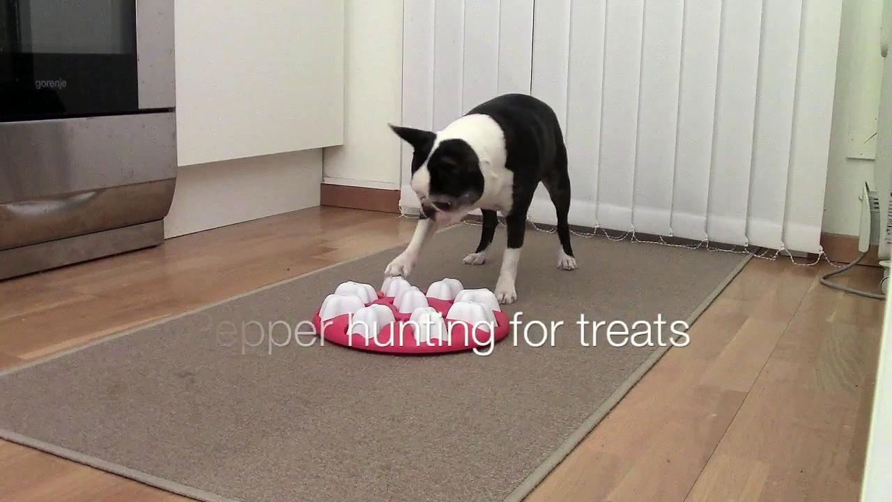 Boston Terrier dog hunting for treats