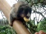 Macacos Saguis - Lagoa da Conceição - Floripa/SC