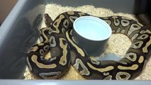 REPTILE Safari Reptiles Ball Python Updates October 2013