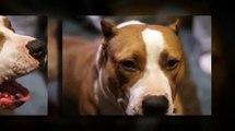 American Pit Bull Terrier   Massive Head Stud Pitt Bull   Pitbulls   Pure Bred Puppies