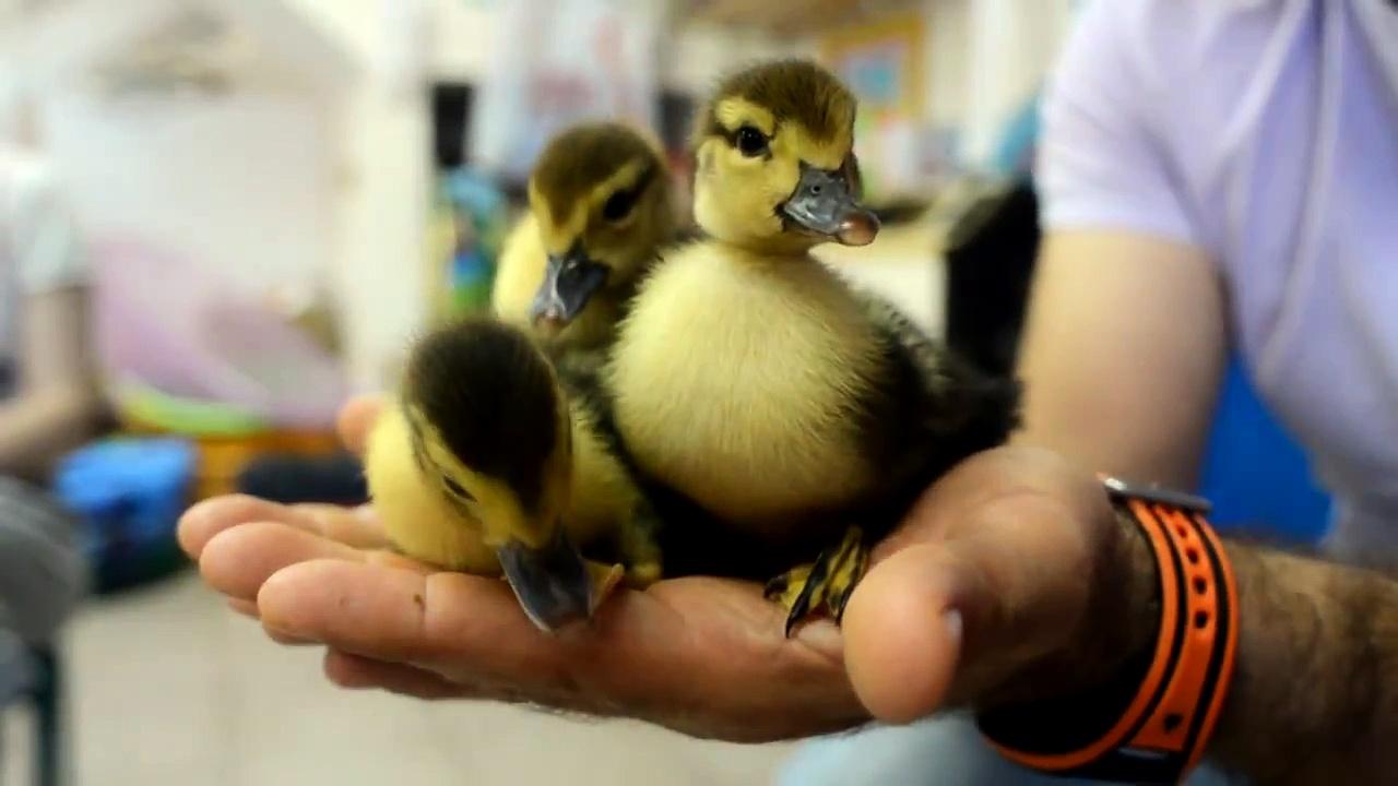 Ducks ברווז אפרוח