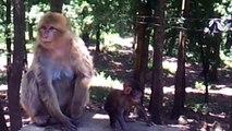 Les singes magot (le Macaque berbère) La Forêt de Yakouren