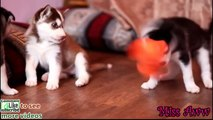 Husky Puppy - Husky Puppies playing with a toy hot HD