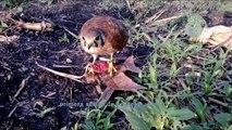 vuelo a copla, entrenamiento cernícalo americano cetreria- falconry