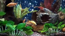 ROSY BARB  & TIGER BARB IN NANO FRESH WATER AQUARIUM