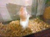 Hamster Dancing to Hamster Dance