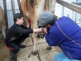 Milking our Jersey Cow by milking machine