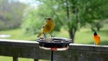Wild Bird House : Orioles Everywhere Spring 2013 Baltimore Orioles & Female Orchard Oriole