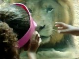 LION GETS MAD WITH KIDS-IN MAYAGUEZ  PUERTO RICO ZOO