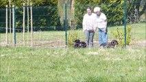 Beaucerons du Fond des Camps - Balade des chiots d'Icory et Girbaud à 2 mois