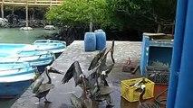Brown Pelicans, Puerto Ayora, Santa Cruz Island, Galápagos Islands, Ecuador, South America