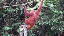 Orangutans Smashing Coconuts Against Trees and Eating Contents