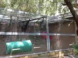 Chimps go apeshit, two frustrated chimps loose control at the primate sanctuary