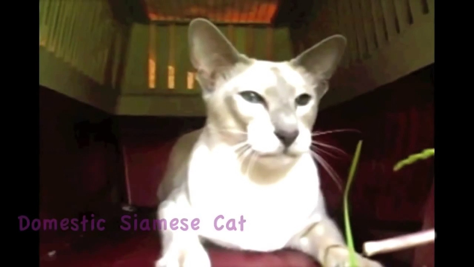 Turbo T. Double - African Savannah Cat Music Video