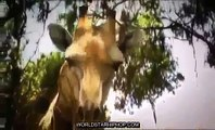 Full Documentaries Hungry Lions Discovery Channel Animals, National Geographic Wild HQ