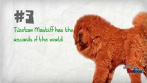 #10 Amazing facts about the Tibetan Mastiff Dog!