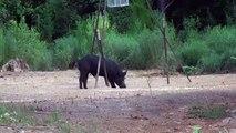 Hog Extermination