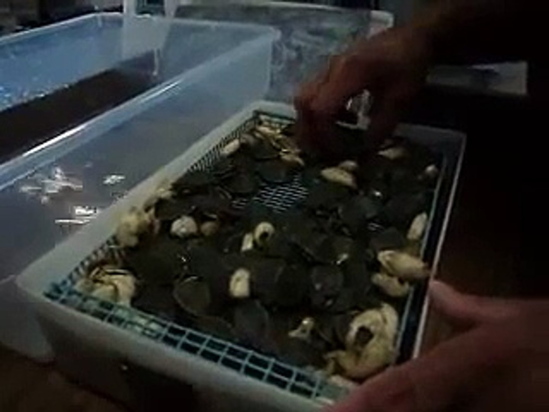 Baby turtles ...pet turtles ...hatchlings