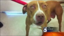 pit bull attack old woman, owner said his pit bull is very friendly dog
