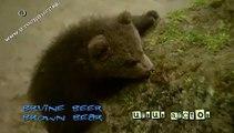 playful brown bear cubs - bruine beer - ursus arctos