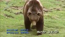 brown bear - bruine beer - ursus arctos #01