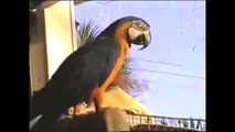 My Funny Blue and Gold  Macaw Gilligan Talking Bird Cape Coral Fl Stupid Pet Tricks