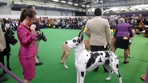 Great Danes - 2013 Westminster Kennel Club Dog Show