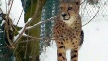 Siberian Tiger in Snow -  Chetah - Wolf  - Lynx - Munich Zoo  - Tierpark Hellabrunn