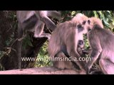 Gang of Langurs in Landour, Uttarakhand
