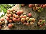Gular or Ficus glomerata berries hug the tree-trunk