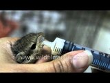 Human mothering for a baby squirrel that was abandoned
