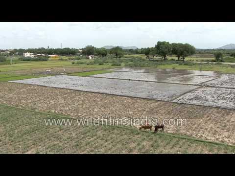 Livestock graze in paddy fields – India