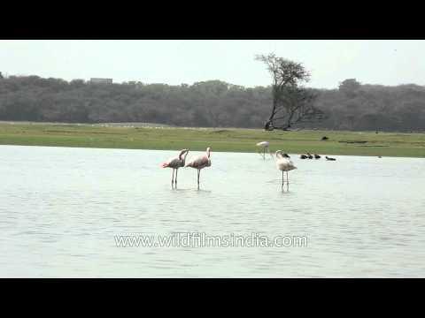 Buffaloes sharing Thol lake with Flamingos in Gujarat