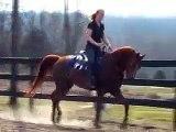 Larc of Triumph, Arabian gelding under saddle
