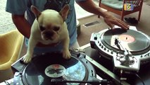 French Bulldog DJ Scratching Hip-Hop Back And Forth