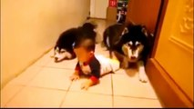 [FULL] Two Dogs Imitating A Baby Crawling | Alaskan Malamutes Imitate Baby Crawling (HD)