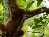 Chimpanzés, Gorilas e Orangotangos - Os 3 Grandes Primatas. The Primates.