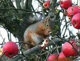 EKORRE  Red Squirrel  (Sciurus vulgaris)  Klipp - 1055
