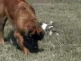 Adorable Shih Tzu puppies playing with giant Leonberger dogs!!