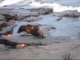 Rough Cut: Jonge zeeleeuw verjaagt rode krabben