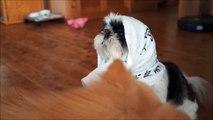 動じないシーズーと気になるポメラニアン。Shih Tzu TARO with Pomeranian LIME